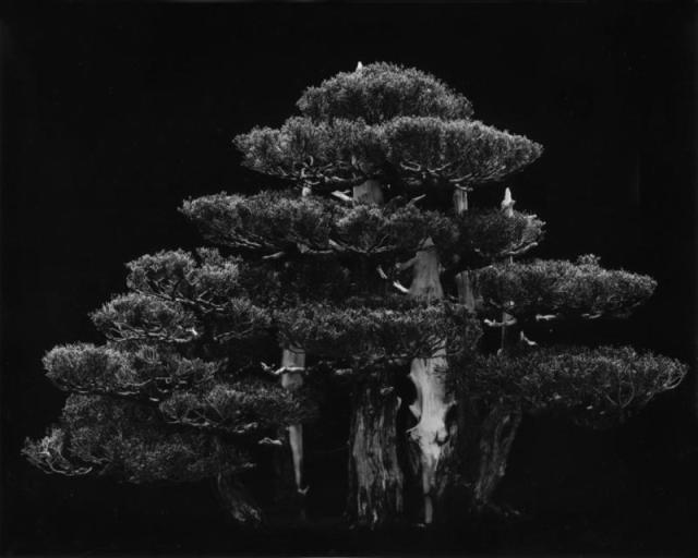 "BIANCA SFORNI, Hollywood juniper, 2002, gelatin silver print, 55"" x 67"" 1/2 Courtesy of the artist"