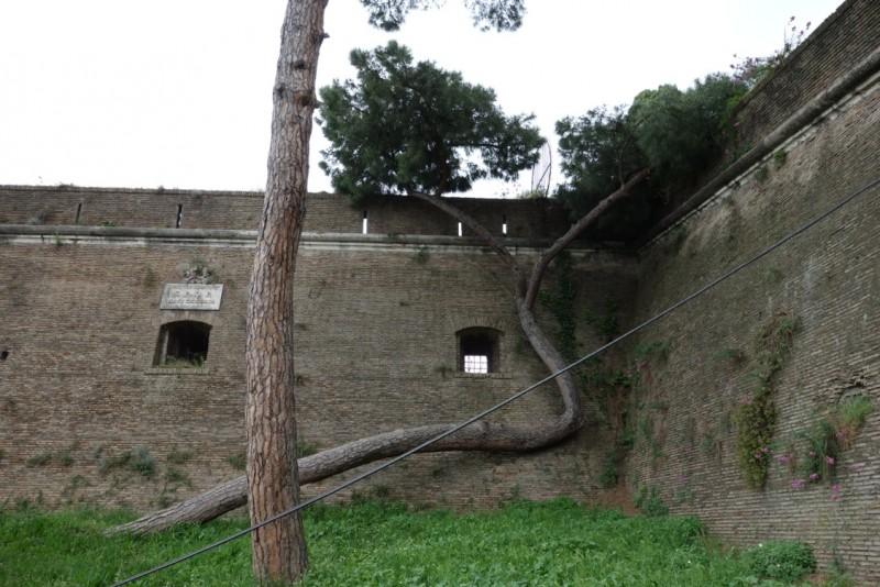 Pine Tree on Viale delle Mura Gianicolensi - behind the American Academy